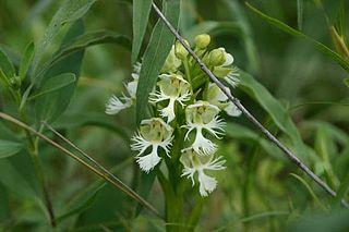 <i>Platanthera praeclara</i> species of plant
