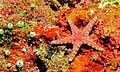 Plated Seastar (Neoferdina glyptodisca) (8473339429).jpg