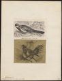 Platycercus eximius - 1700-1880 - Print - Iconographia Zoologica - Special Collections University of Amsterdam - UBA01 IZ18500007.tif