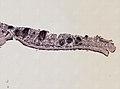 Pleioplana atomata (YPM IZ 073711) 18.jpeg