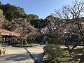 Plum trees in Dazaifu Temman Shrine 9.jpg