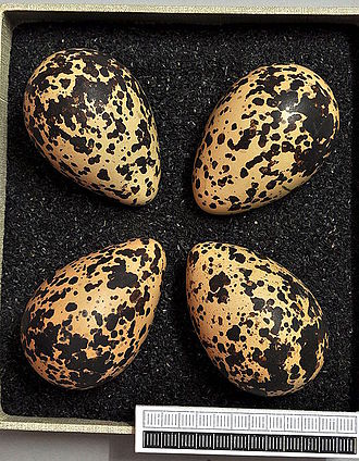 European golden plover - Eggs, Collection Museum Wiesbaden