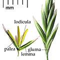 Poaceae flower.jpg