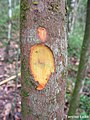 Pogonophora schomburgkiana, cocão - Flickr - Tarciso Leão (5).jpg