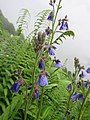 Polemonium caeruleum - blue Jacob's-ladder on way from Gangria to Valley of Flowers National Park - during LGFC - VOF 2019 (2).jpg