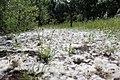 Pollens et prairie à l'Ile de la Rohrschollen.jpg
