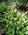 Polygonum affine 'Superba' (Persicaria affinis) - VanDusen Botanical Garden - Vancouver, BC - DSC07146.jpg