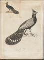 Polyplectron emphanum - - Print - Iconographia Zoologica - Special Collections University of Amsterdam - UBA01 IZ16900195.tif