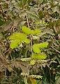 Pombeiro Branco (Combretum lanceolatum) (29056589866).jpg