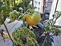 Pomidorek Winiary Poznan.jpg