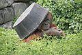 Pongo abelii at the Philadelphia Zoo 007.jpg