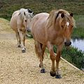 Ponies on the causeway, Shatter Ford, New Forest - geograph.org.uk - 510063.jpg