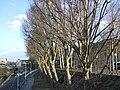 Pont-d'Austerlitz arbres2.jpg