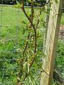 Populus balsamifera (26096375193).jpg