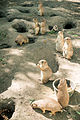 Prairie Dogs Massed (18143363325).jpg
