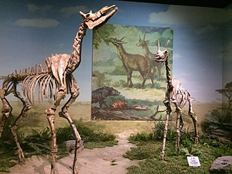 Palaeotragus - A pair of Palaeotragus mounts at the Tianjin Natural History Museum.
