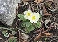 Primula acaulis subsp. acaulis (Çuha çiçeği) 06.jpg