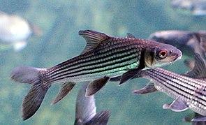 Jungfisch von Probarbus jullieni