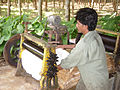 Processing rubber in Thailand.JPG