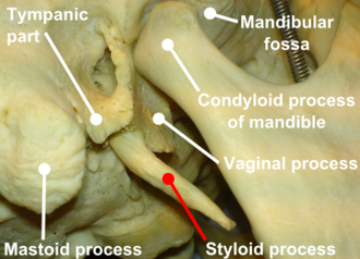 Temporal styloid process - Right temporal bone and mandible (styloid process labeled at bottom)