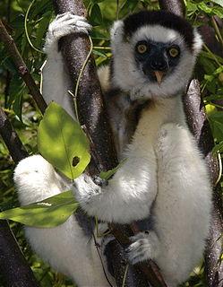 Verreauxs sifaka species of mammal