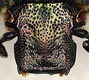 grün glänzender käfer