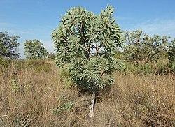 Protea caffra, habitus, Bronberg, a.jpg