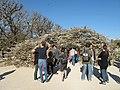 Prunus groupe Sato Zakura 'Shirotae' (Jardin des Plantes de Paris) 2.jpg