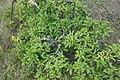 Prunus spinosa, Rosaceae 01.jpg