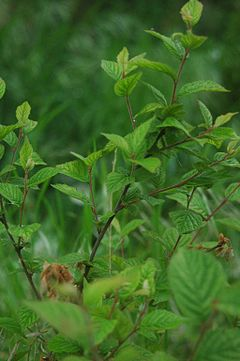 Prunus tomentosa leaves.jpg