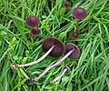 Psathyrella bipellis.jpg