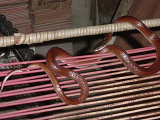 <i>Pseudoboa</i> Genus of snakes