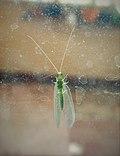 Pseudomallada sp. (Chrysopidae), Lazio, Italy.jpg