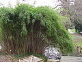 Pseudosasa japonica2.jpg