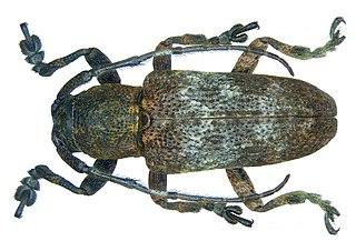 <i>Pterolophia</i> Genus of beetles