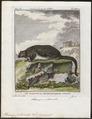 Pteromys petaurista - 1700-1880 - Print - Iconographia Zoologica - Special Collections University of Amsterdam - UBA01 IZ20400093.tif