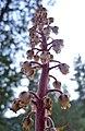 Pterospora andromedea.jpg