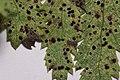 Puccinia tanaceti on Common Tansy - Tanacetum vulgare (44637617755).jpg