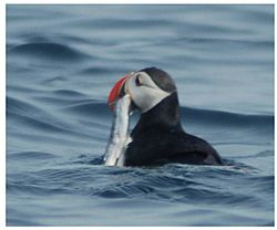 Puffin with capelin.jpg