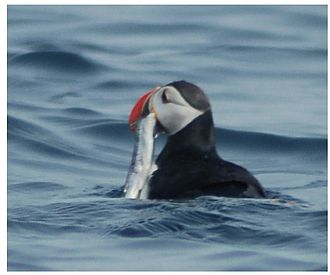 Capelin - Atlantic puffin with capelin