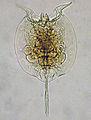 Pulchritia dorsicornuta - ZooKeys-342-001-g001.jpg