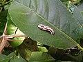 Pupa of Butterfly.jpg