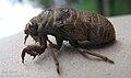 Pupal Cicada.jpg