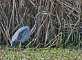 Purple Heron at Sultanpur I Picture 023.jpg
