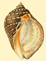 Purpura persica conchologia iconica LA Reeve Pl II.jpg