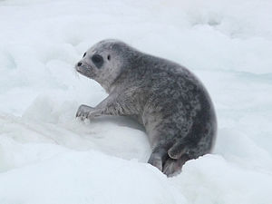 Ringed seal - Pup of ringed seal.