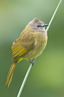 Pycnonotus flavescens - Мэй Вонг.jpg