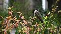 Pycnonotus sinensis - panoramio (001).jpg