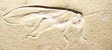 Pycnophlebia speciosa.JPG