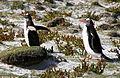 Pygoscelis papua -East Falkland-8e.jpg